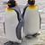 Pinguino reale