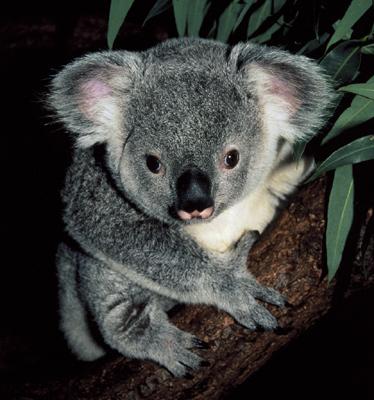 Gtotem koala