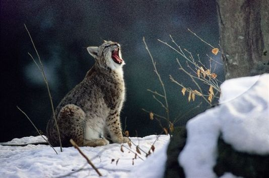 Lince1