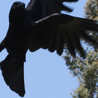 Fish crow feet