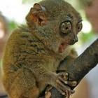 Lemure slow loris