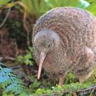 Kiwi20bird