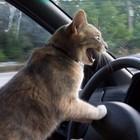 Gatto guida
