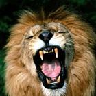 A leone 800