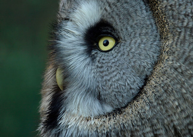Pictures anna 20nielsson 20great 20grey 20owl