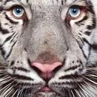 Tigre 300