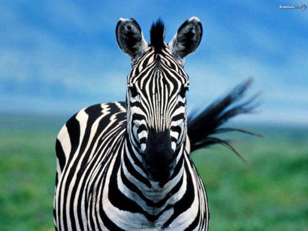 Zebra 203