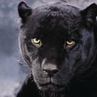 Occhi pantera nera