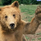 Grizzly cumpagnone