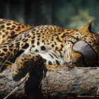 Zoo leopard sleep