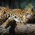 Zoo leopard sleep