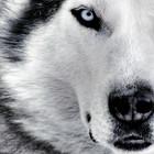 Wolf01