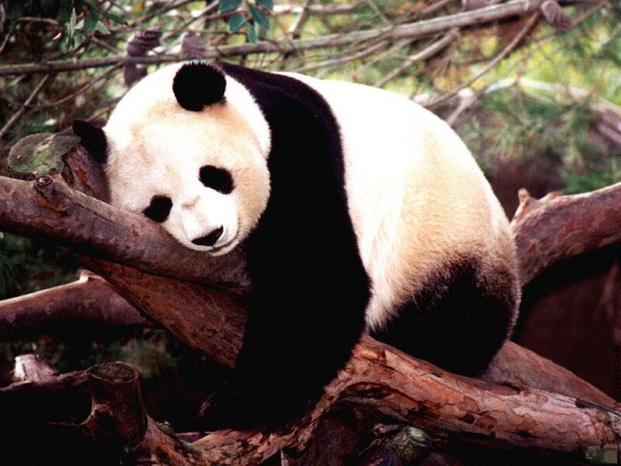 Panda 800