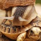 Tartaruga lumaca