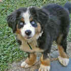 Bernese mountain dog 0062