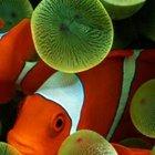 Pesce pagliaccio 5800
