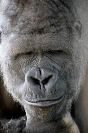 Animal picture silver back male gorilla ucumari animalpicture