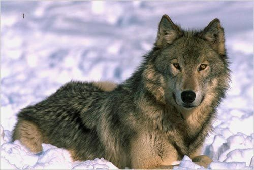 Wolf color photo