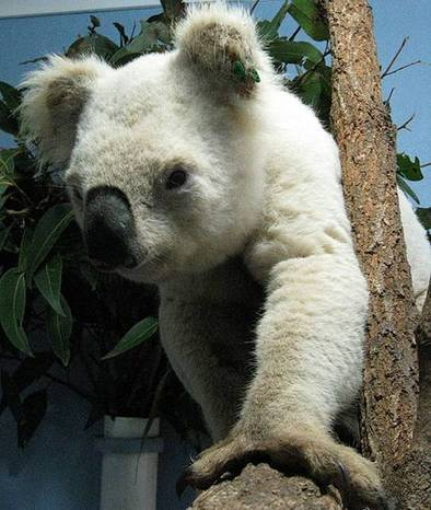 Albino koala bear 3sfw