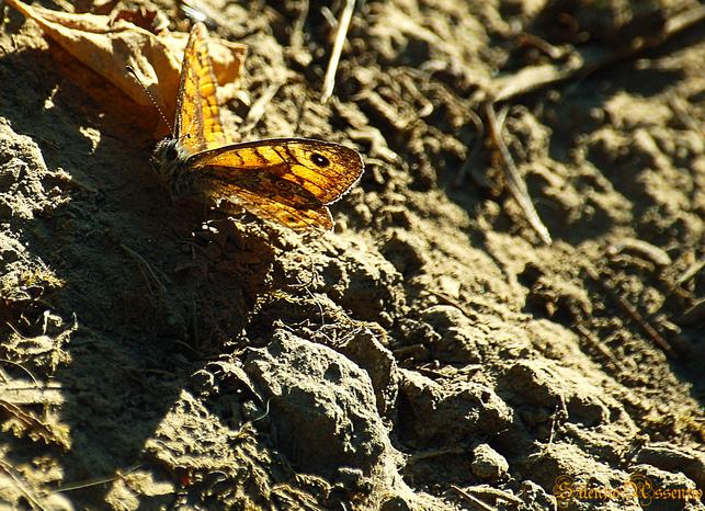Farfalla1