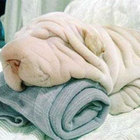 Sharpei towel 1