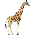 Giraffe pic 1