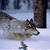 Yellowstone wolves running in snow full