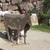 Mucca 20finta