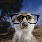 Klum mattias a close view of an adult meerkat suricata suricatta 20copia