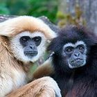 Gibbone1