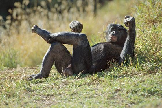 Bonobo apes a male bonobo 007