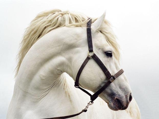 Cavallo bianco white horse
