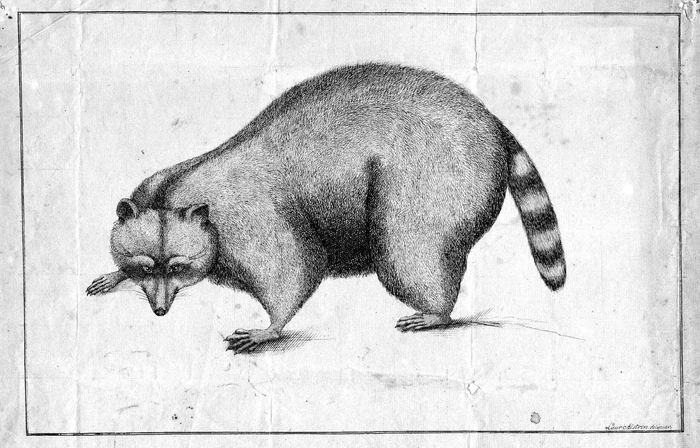 Raccoon 6 raccon1