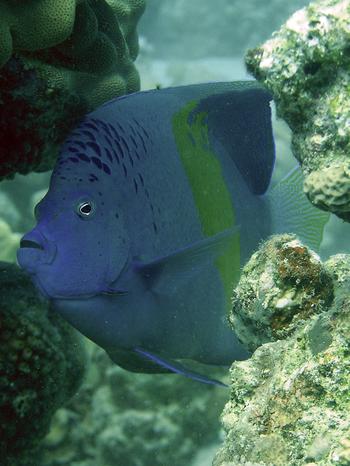 Pesce 20angelo 20arabo