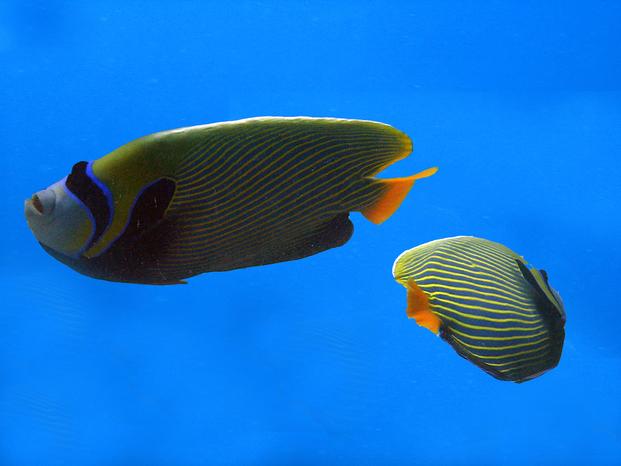 Pesce 20angelo 20imperatore