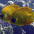 Pesce 20farfalla 20mascherato