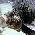 Pesce 20leone 20caccia