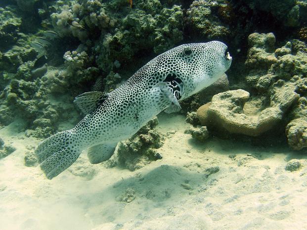 Pesce 20palla 20gigante