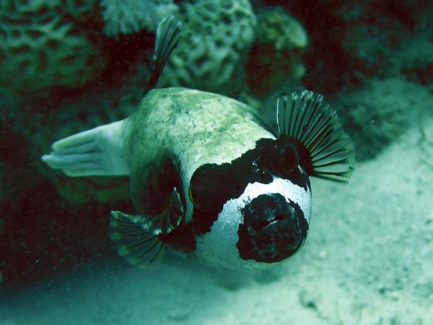 Pesce 20palla 20mascherato