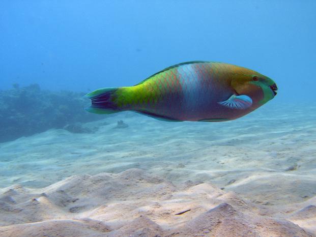 Pesce 20pappagallo
