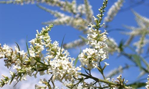 Jasmin - eine von vielen Blütendüften im Parfüm
