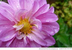 Pink Flower After Rain