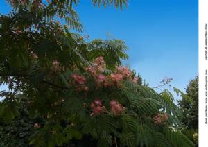 Persian Silk Tree