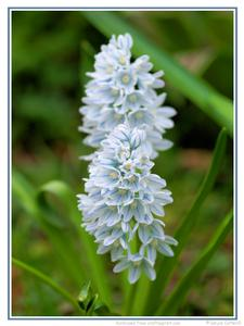 Striped Squill Blooms 1