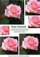 Pink Rose Pyramid Duo