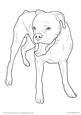 Boxer Dog Standing