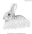 Rabbit Pencil Sketch