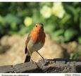 Robin on a Log