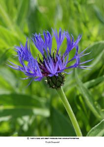 Beautiful Purple Wild Knapweed