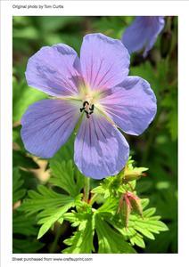 "Geranium ""himalayense Gravete"""